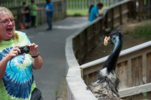 A woman laughing as a emu eats a cone in Deer Park at Tweetsie Railroad