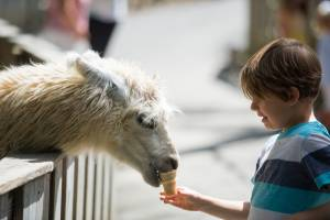 A boy hand feeding a llama in Deer Park at Tweetsie Railroad