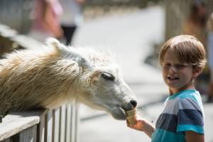 A Young boy hand feeding a llama in Deer Park at Tweetsie Railroad