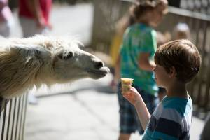 A young boy feeding a llama in Deer Park at Tweetsie Railroad.