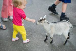 A toddler petting a baby goat in Deer Park at Tweetsie Railroad.